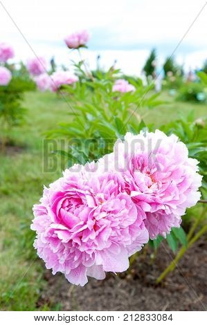 Beautiful pink Minuet peony flowers. Vertical Outdoors summertime vibrant colored image.