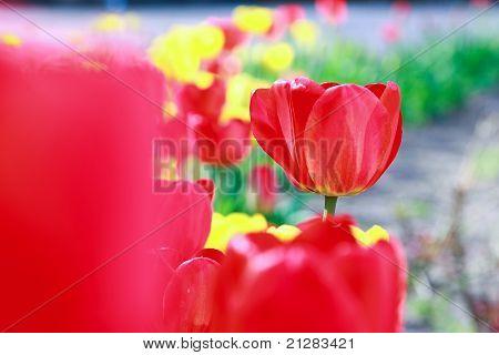 Tulipa flowers