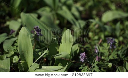 Lily of the valley Convallaria majalis purple flowers. Purple Lily of the valley on grass. Spring blossom. Close-up. Natural green background of may lily, lily of the valley, Convallaria majalis leaves, selective focus