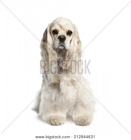 Portrait of American Cocker Spaniel, 1 year old, sitting in front of white background, studio shot