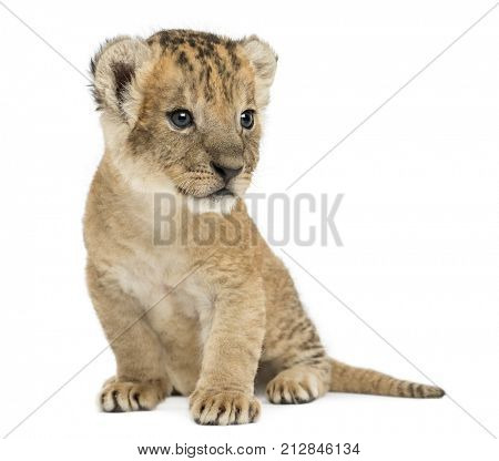 Lion cub sitting, looking away,16 days old, isolated on white