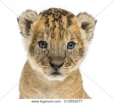 Close-up of a Lion cub looking at the camera, 16 days old, isolated on white
