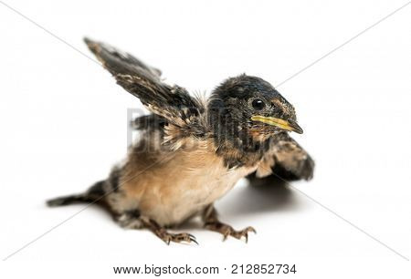 Baby Barn Swallow trying to take off, Hirundo rustica, isolated on white