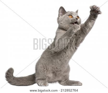 British Shorthair kitten, 3 months old, pawing in front of white background