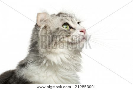 Close-up of an American Curl's profile, looking up, isolated on white