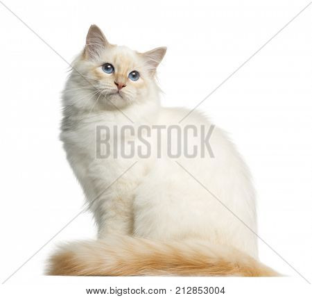 Side view of a Birman cat, looking away, isolated on white