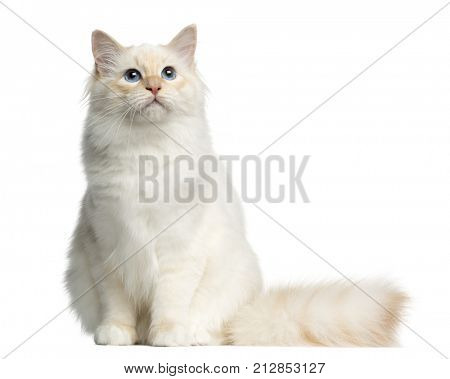 Front view of a Birman cat sitting, isolated on white