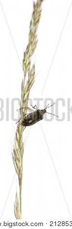 European stink bug, Rhaphigaster nebulosa, climbing grass against white background