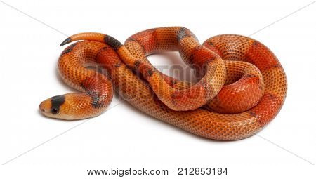 Tricolor Reverse Honduran milk snake, Lampropeltis triangulum hondurensis, in front of white background