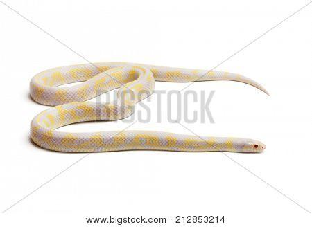 Albinos abberant eastern kingsnake or Common kingsnake, Lampropeltis getula californiae, in front of white background