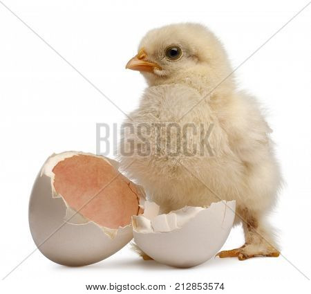 Chick of Pekin, a breed of bantam chicken, Gallus gallus domesticus, 2 days old, standing next to its own egg, in front of white background