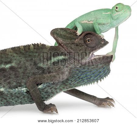 Young veiled chameleon, Chamaeleo calyptratus, on the head of an older one in front of white background