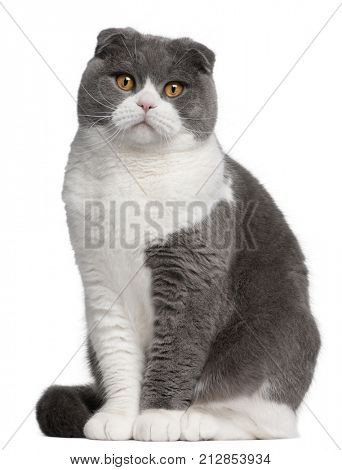 Scottish Fold cat, 1 year old, in front of white background