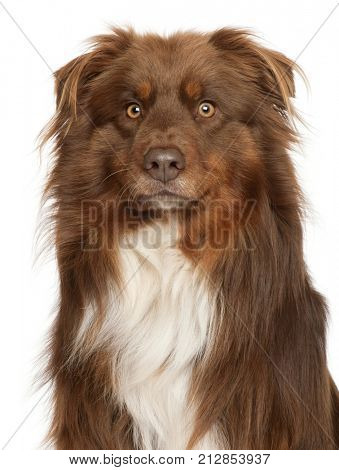 Close-up of Australian Shepherd dog, in front of white background