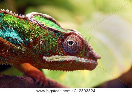 Close Up Animal Portrait Photo Of Chameleon
