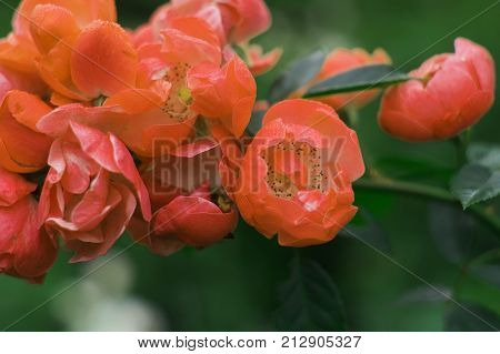 Beautiful coral roses in the garden with stamens