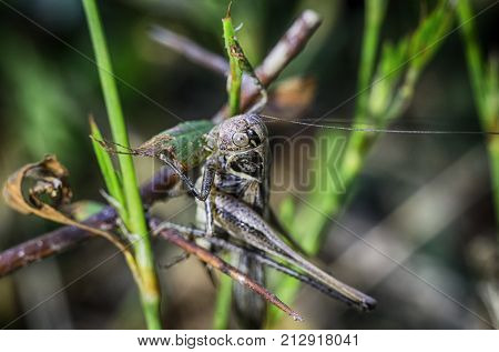 Macrophotography grasshopper, locusts in the grass macro green background