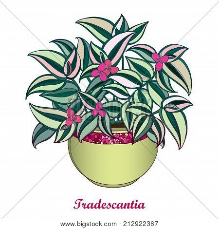 Vector bouquet with outline Tradescantia or Inch plant or Wandering Jew flower. Pink flower and striped green leaf isolated on white background. Potted houseplant in contour style for summer design.