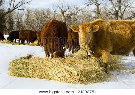 Cows Feed On Hay During Winter