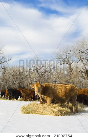Angus Cow Eats Hay During Winter