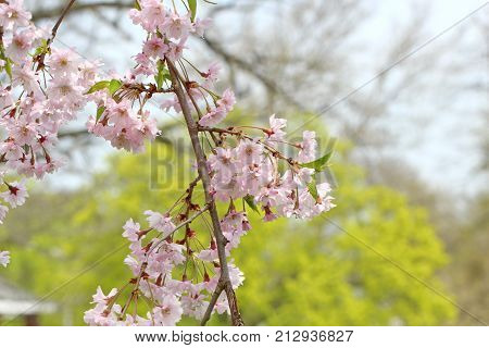 Pink cherry flowers hanging on branches of a tree