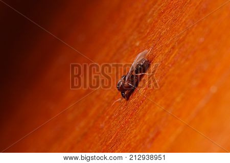 Single ant with wings, Formica extreme close up with high magnification, this ant is often a pest in houses, in a wooden background.
