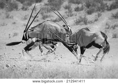 Group of Oryx fight for dominance in the hot Kalahari sun artistic conversion