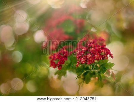 Blumen rosa Weißdorn in den Strahlen der Mai-Sonne.