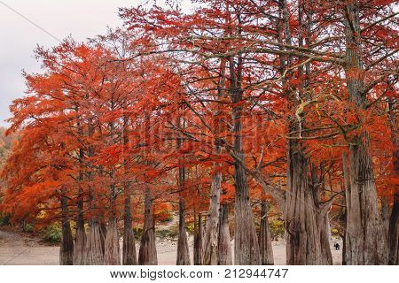 Red swamp cypresses and lake in Russia