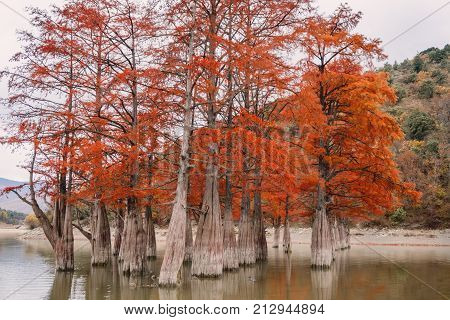Red swamp cypresses and lake in Sukko, Russia