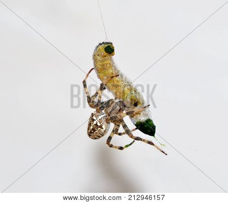 caterpillar captured in spider web macro image