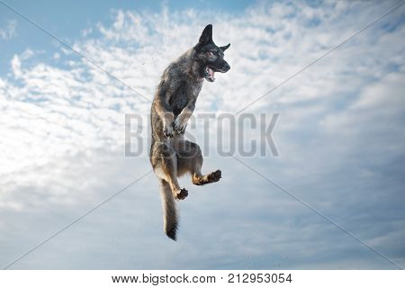 Dog Eastern European in a jump against the sky