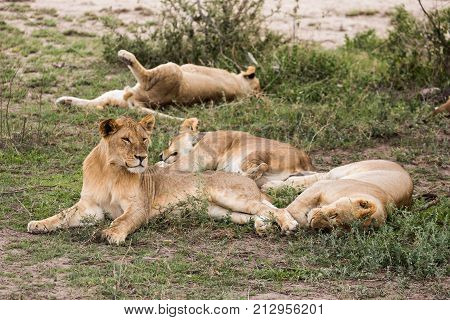 Pride of lions resting during the day