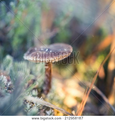 Small frozen mushroom with ice crystals in a swamp in morning lights. Closeup with a shallow dept of field.