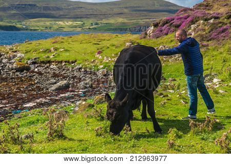 ISLE OF SKYE SCOTLAND - AUGUST 12 2017 - A man caress a black cow in a meadow of the Isle of Skye.