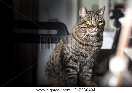 Portrait of a female tabby cat. A portrait of a young tabby cat with yellow eyes.  Brindle coat. Blurred background