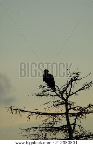A silhouette of a black vulture roosting on a cypress tree in southern Florida.