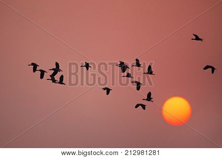 Lesser Whistling Ducks Flying At Sunset In Keoladeo Ghana National Park, Bharatpur, India.