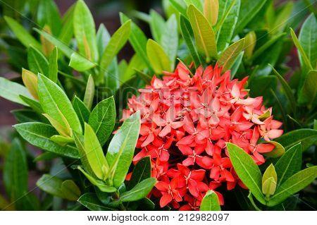 Ixora flower. King Ixora blooming (Ixora chinensis). Rubiaceae Ixora flower in the garden