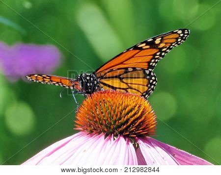 Monarch butterfly on purple coneflower on shore of the Lake Ontario in Toronto Canada August 8 2017