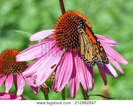 Monarch butterfly on the purple coneflower on shore of the Lake Ontario in Toronto Canada August 8 2017