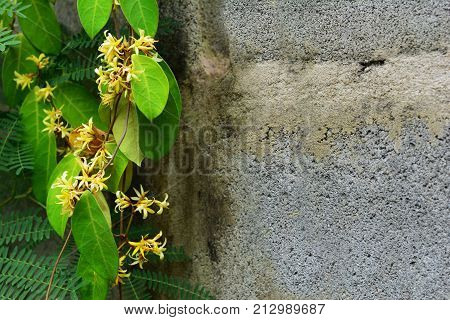 Yellow Vine Flowers With Old Cement Wall