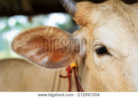 Calf's eye close-up. Beautiful eye of a farm animal. A macro of cow's eyes.