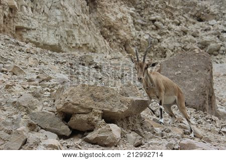 ibex running on a cliff in Ein gedi, Israel