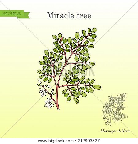 Miracle tree Moringa oleifera , medicinal plant. Hand drawn botanical vector illustration