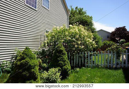 Elderberry bushes (Sambucus nigra) blossom in a garden next to a white picket fence in Joliet, Illinois, during June.