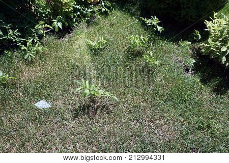 Elderberry plants (Sambucus nigra) spread from a garden onto a lawn in Joliet, Illinois, during June.