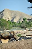 A rhinoceros wanders around at the Al Ain Zoo, United Arab Emirates. poster