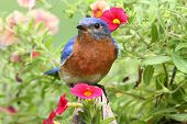 Male Eastern Bluebird (Sialia sialis) on a fence with flowers poster
