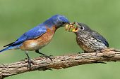 Male Eastern Bluebird (Sialia sialis) feeding his hungry baby poster